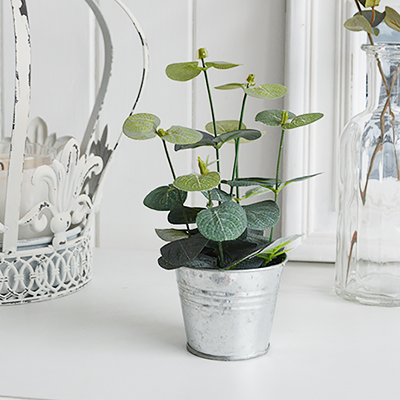 A little Eucalyptus plant in metal pot